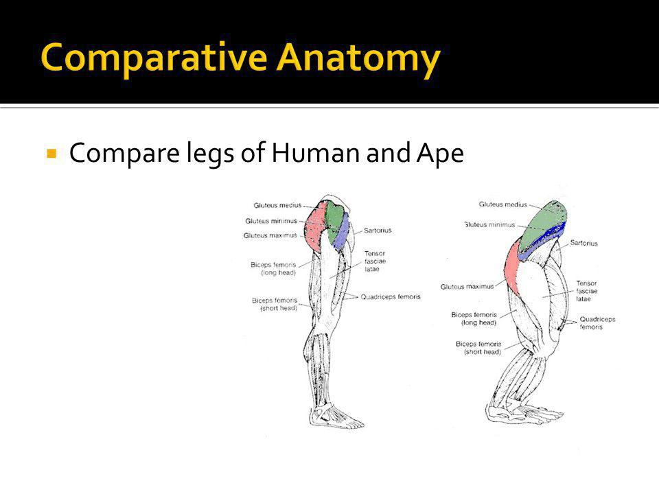 Comparative Anatomy Compare legs of Human and Ape