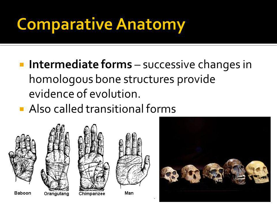Comparative Anatomy Intermediate forms – successive changes in homologous bone structures provide evidence of evolution.