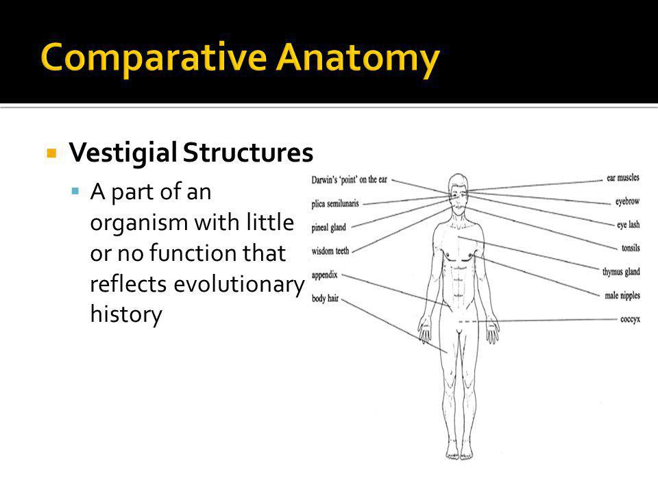 Comparative Anatomy Vestigial Structures