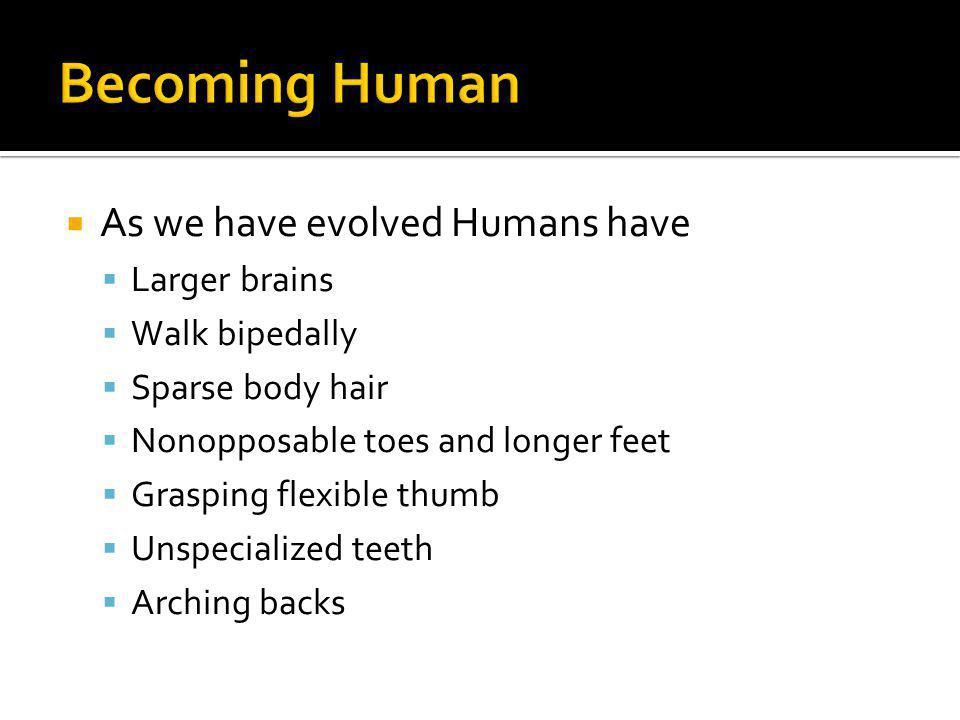 Becoming Human As we have evolved Humans have Larger brains