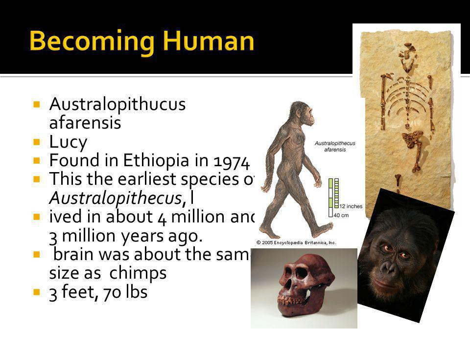 Becoming Human Australopithucus afarensis Lucy