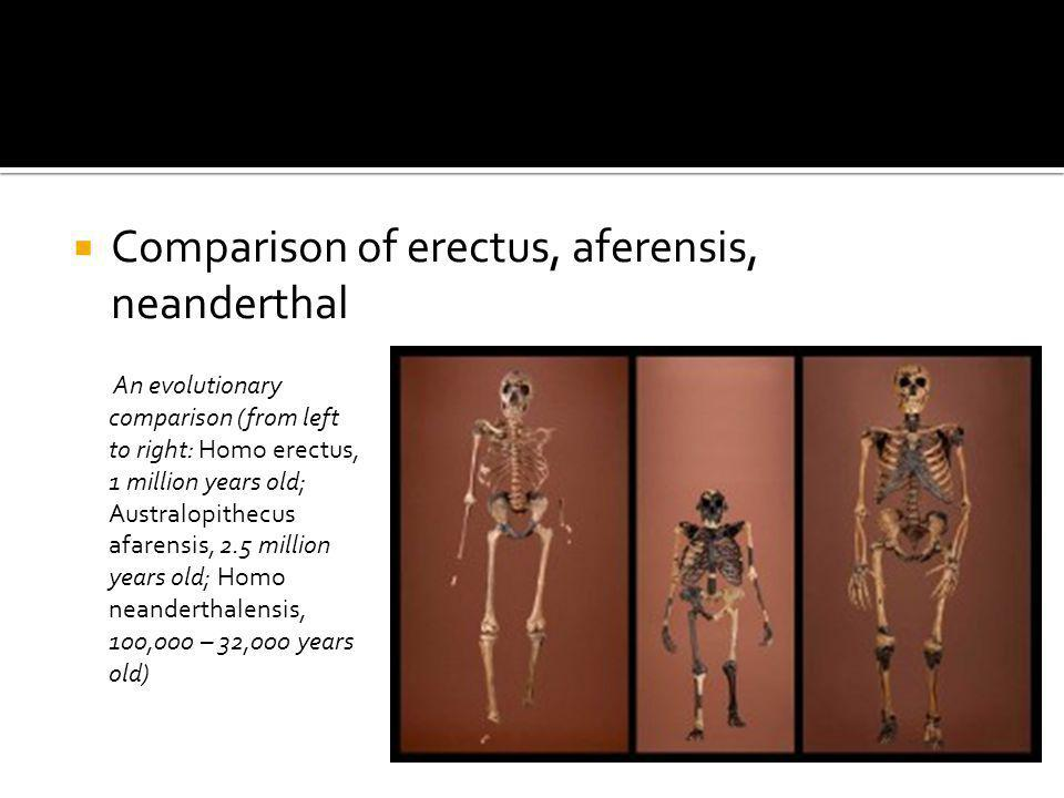 Comparison of erectus, aferensis, neanderthal