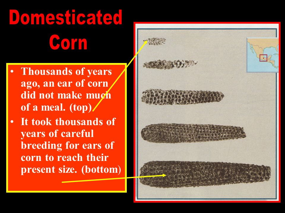 Domesticated Corn. Thousands of years ago, an ear of corn did not make much of a meal. (top)