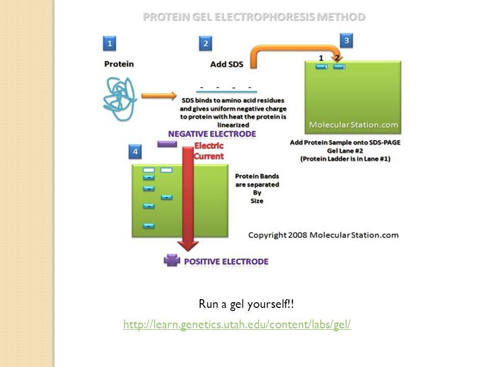 Run a gel yourself!! http://learn.genetics.utah.edu/content/labs/gel/