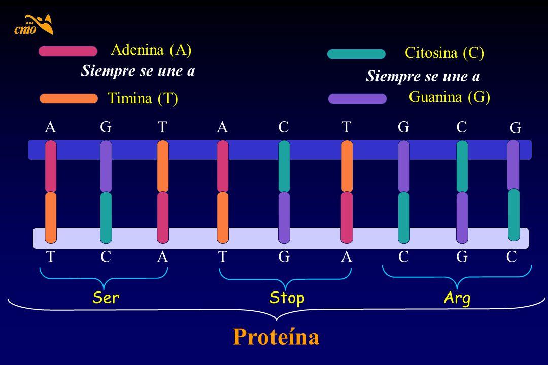 Proteína Adenina (A) Citosina (C) Siempre se une a Siempre se une a