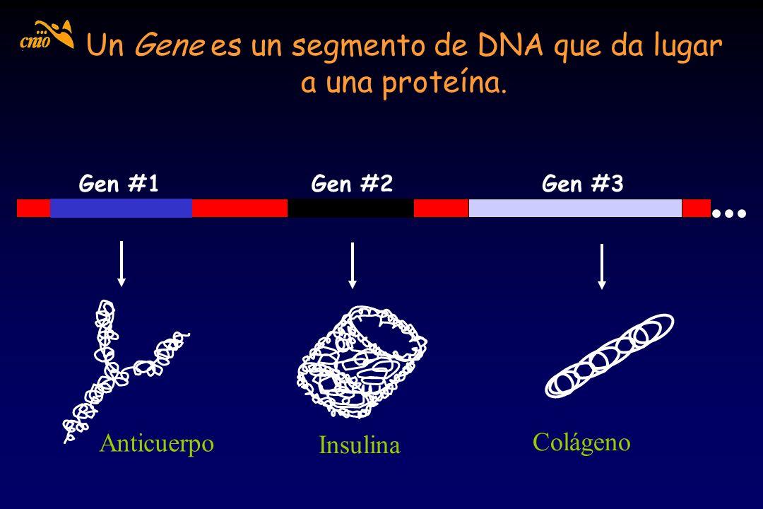 Un Gene es un segmento de DNA que da lugar a una proteína.