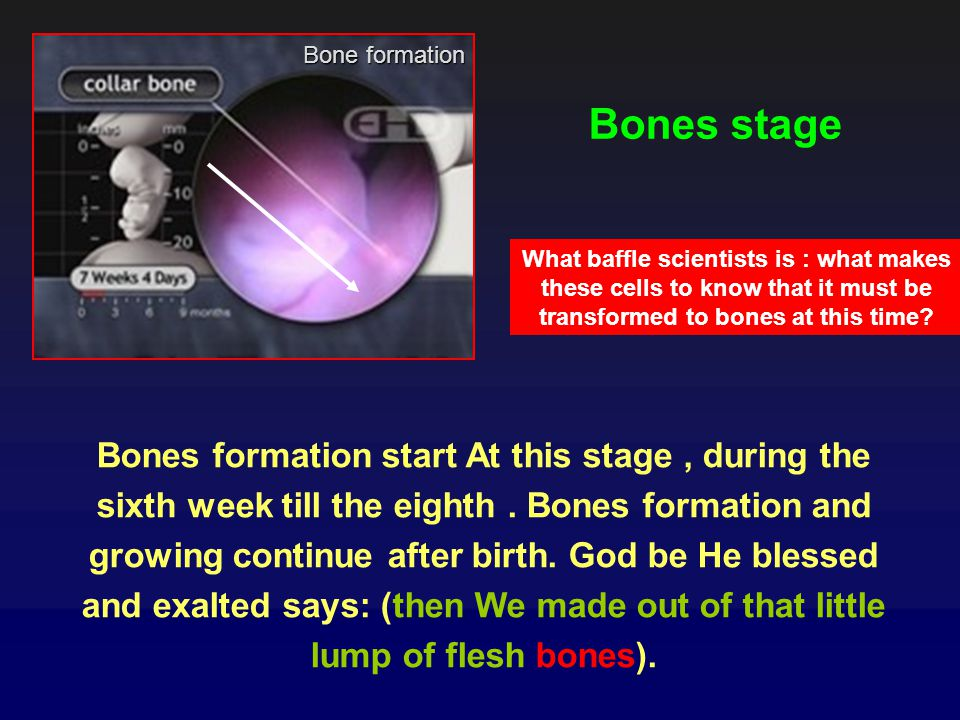 Bone formation Bones stage. What baffle scientists is : what makes these cells to know that it must be transformed to bones at this time