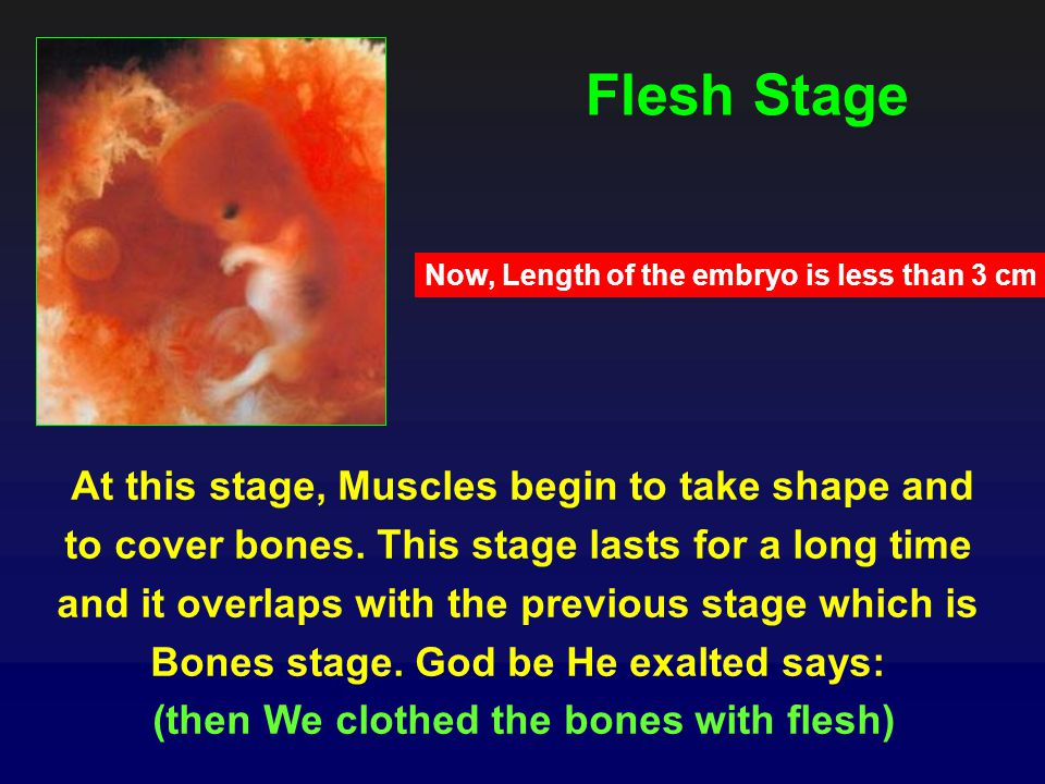 Flesh Stage Now, Length of the embryo is less than 3 cm.