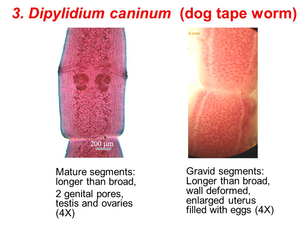 3. Dipylidium caninum (dog tape worm)