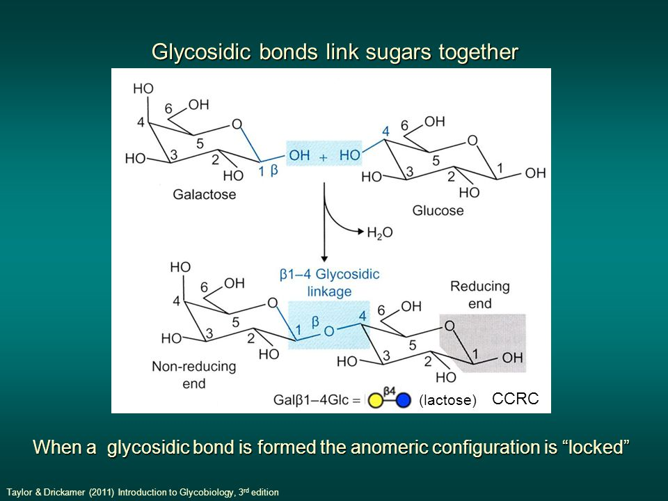 Glycosidic bonds link sugars together