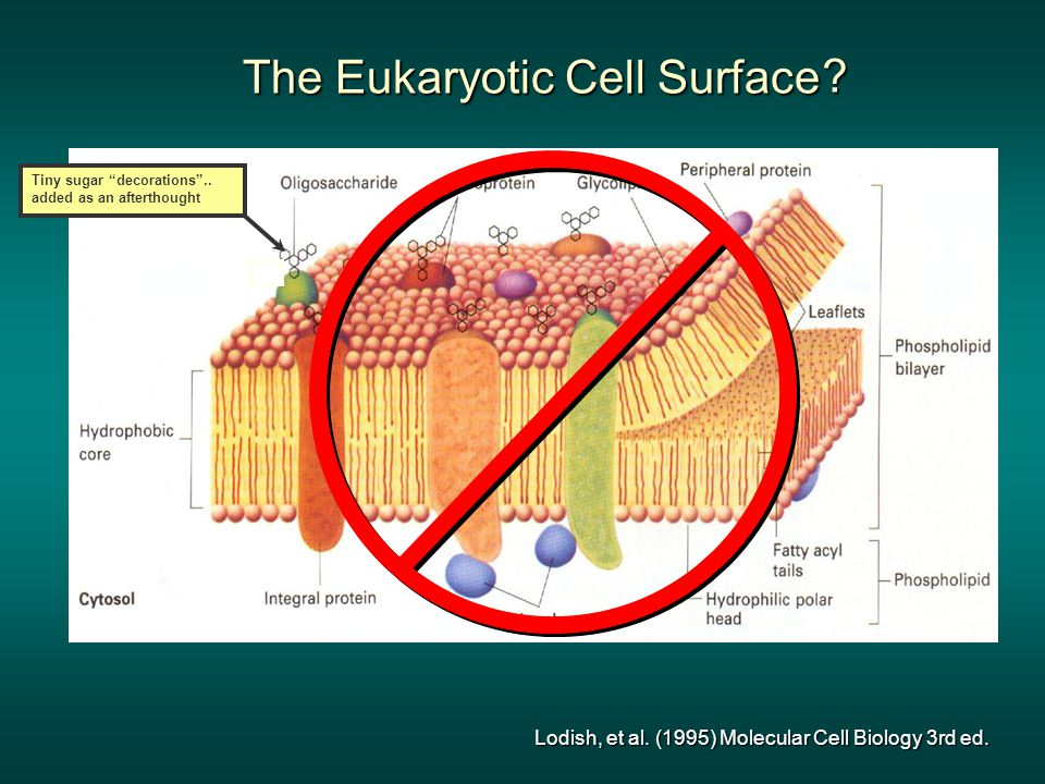 The Eukaryotic Cell Surface