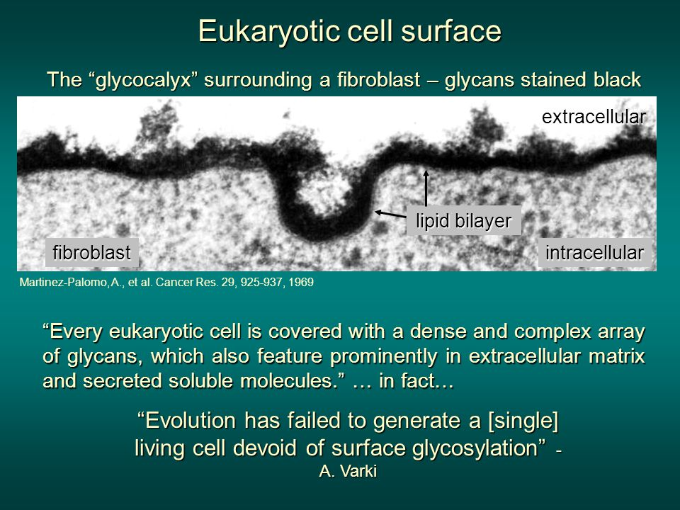 Eukaryotic cell surface