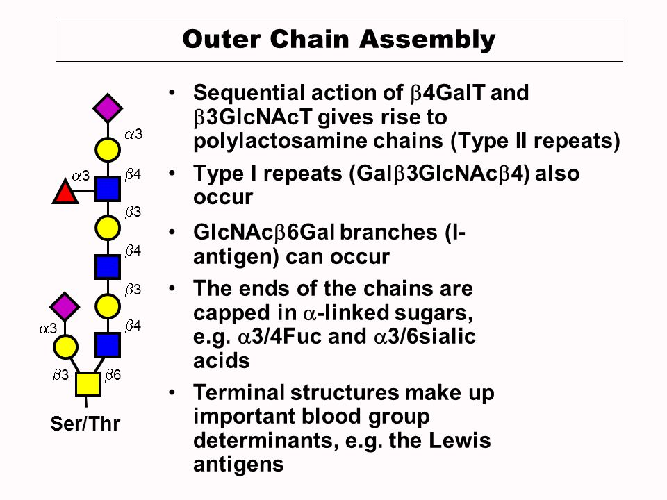 Outer Chain Assembly Sequential action of b4GalT and b3GlcNAcT gives rise to polylactosamine chains (Type II repeats)