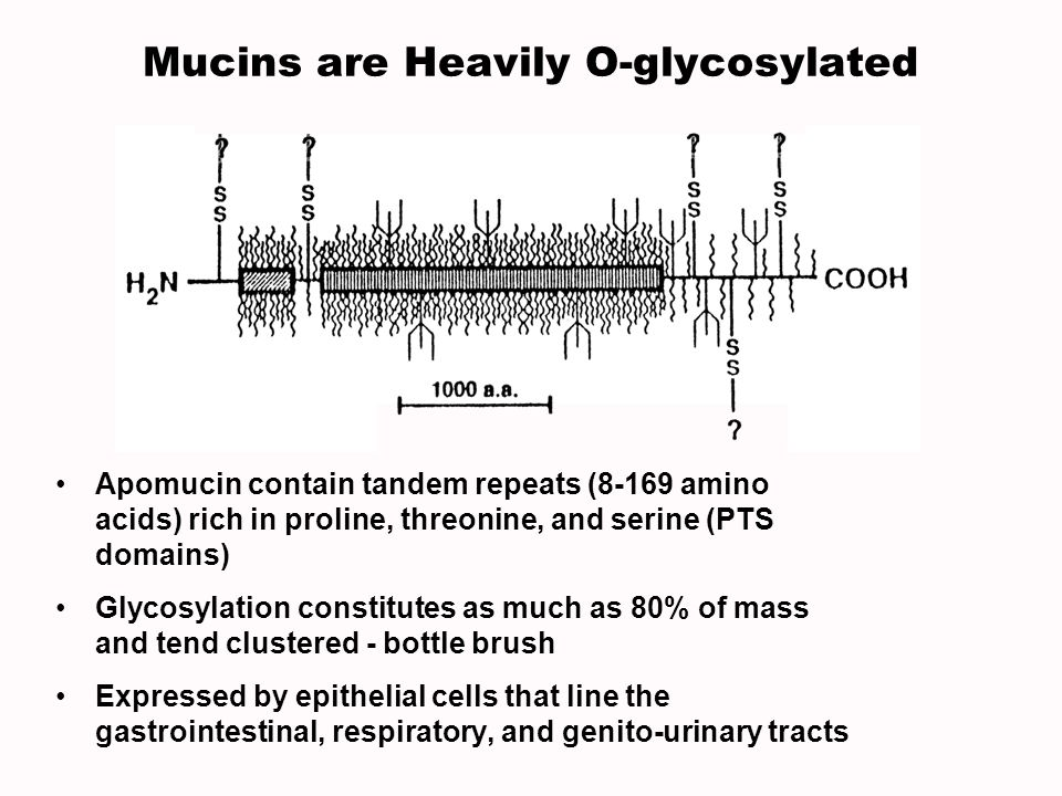 Mucins are Heavily O-glycosylated