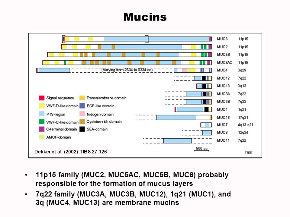 Mucins Dekker et al. (2002) TIBS 27:126. 11p15 family (MUC2, MUC5AC, MUC5B, MUC6) probably responsible for the formation of mucus layers.