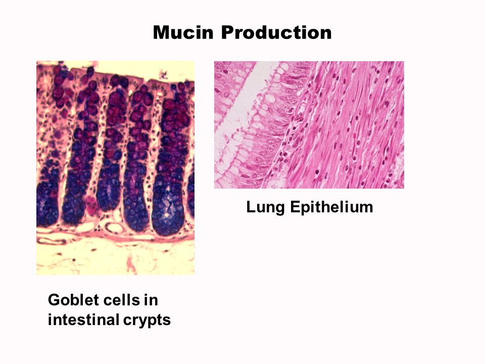 Mucin Production Lung Epithelium Goblet cells in intestinal crypts