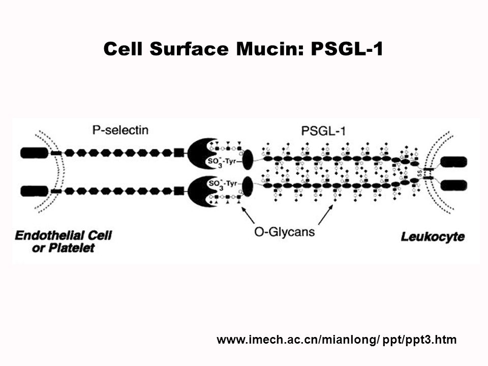Cell Surface Mucin: PSGL-1