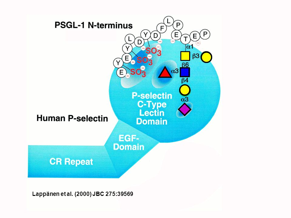 Lappänen et al. (2000) JBC 275:39569 Heparin effects may be mediated by blocking the TyrS sites/
