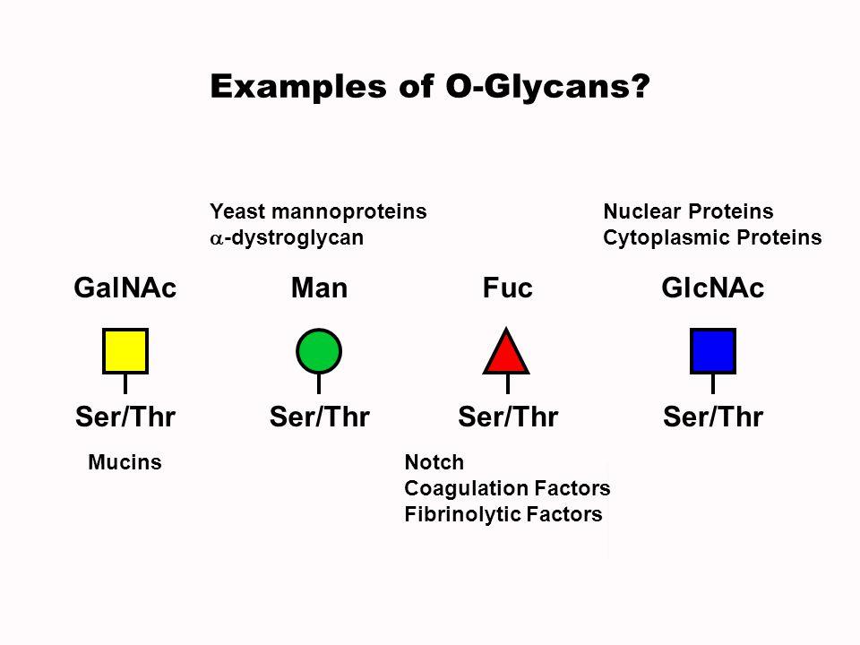 Examples of O-Glycans GalNAc Ser/Thr Man Fuc GlcNAc Ser/Thr Ser/Thr