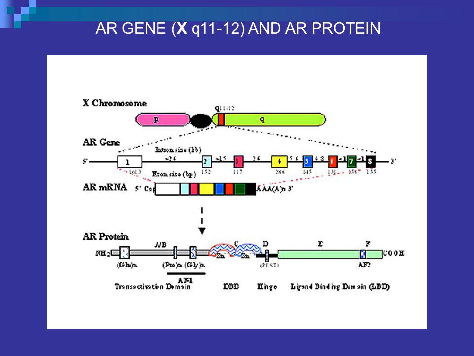 AR GENE (X q11-12) AND AR PROTEIN