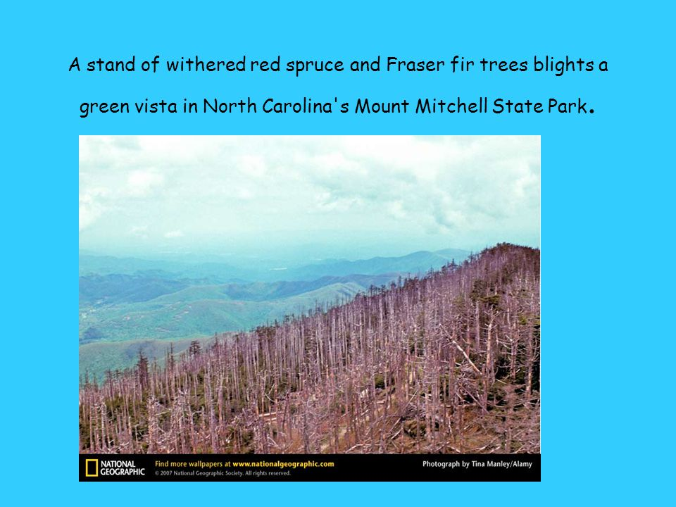 A stand of withered red spruce and Fraser fir trees blights a green vista in North Carolina s Mount Mitchell State Park.