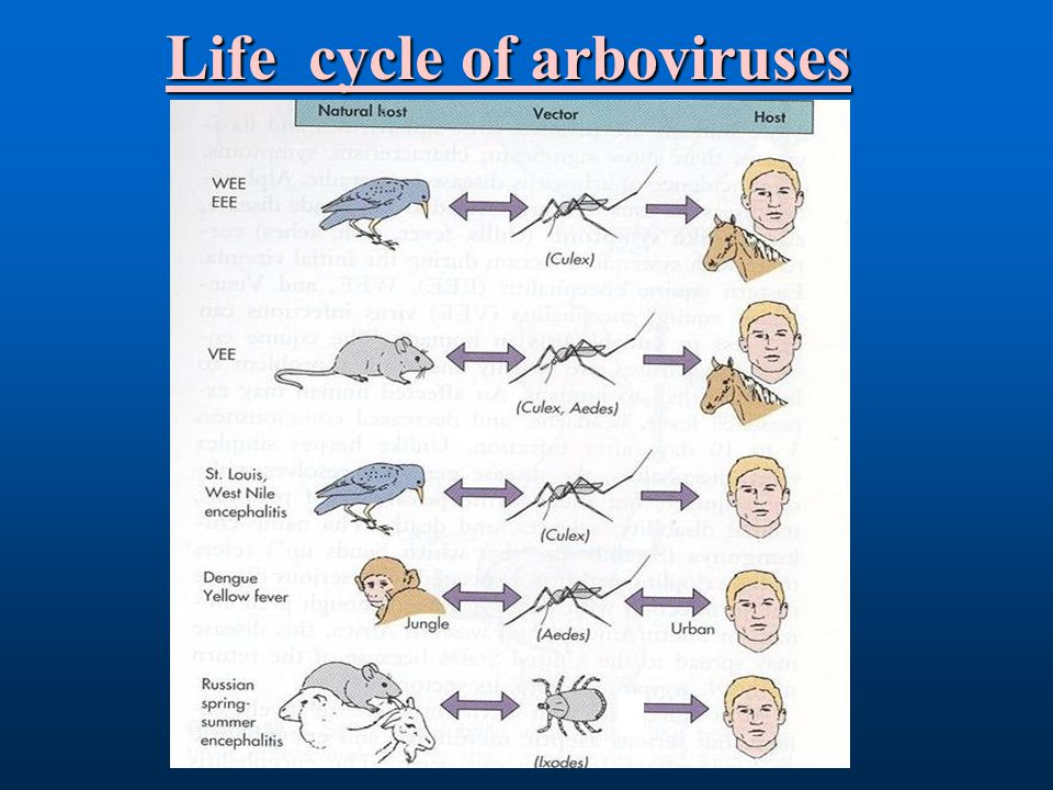 Life cycle of arboviruses