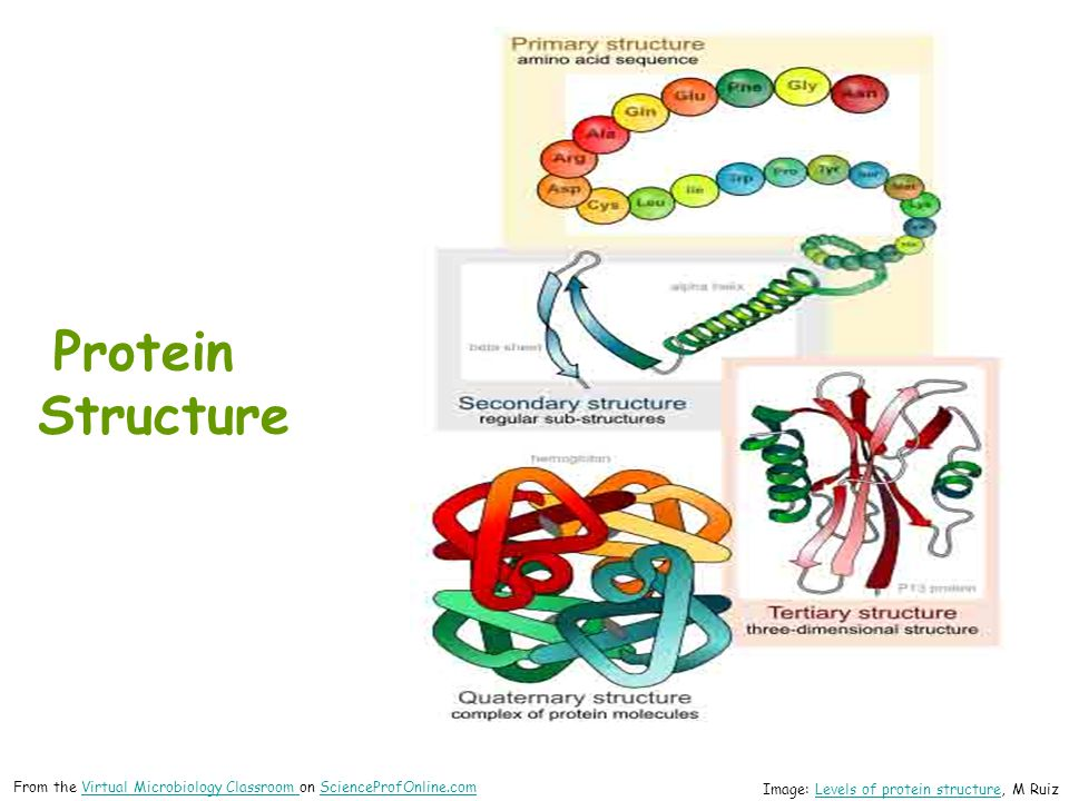 Protein Structure From the Virtual Microbiology Classroom on ScienceProfOnline.com.