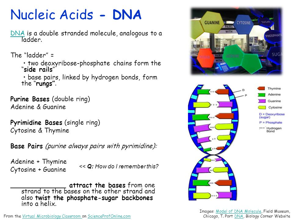 Nucleic Acids - DNA DNA is a double stranded molecule, analogous to a ladder. The ladder =