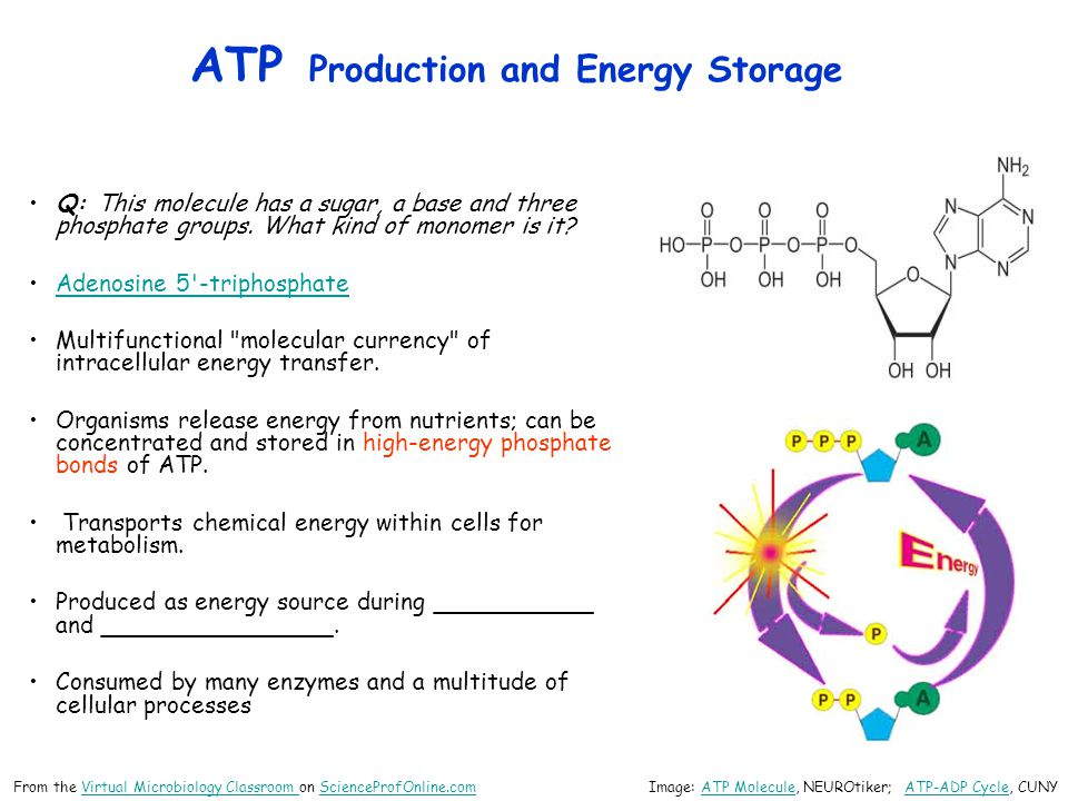 ATP Production and Energy Storage