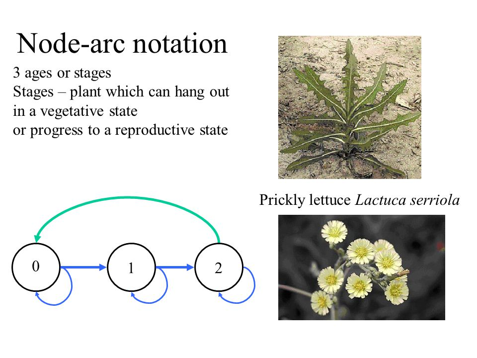 Node-arc notation 3 ages or stages Stages – plant which can hang out