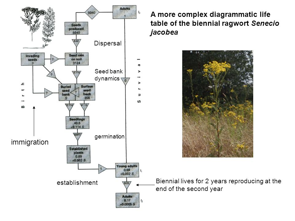 A more complex diagrammatic life table of the biennial ragwort Senecio jacobea