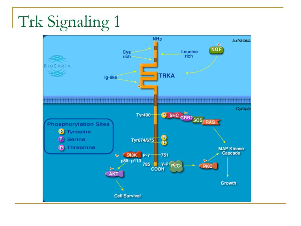 Trk Signaling 1