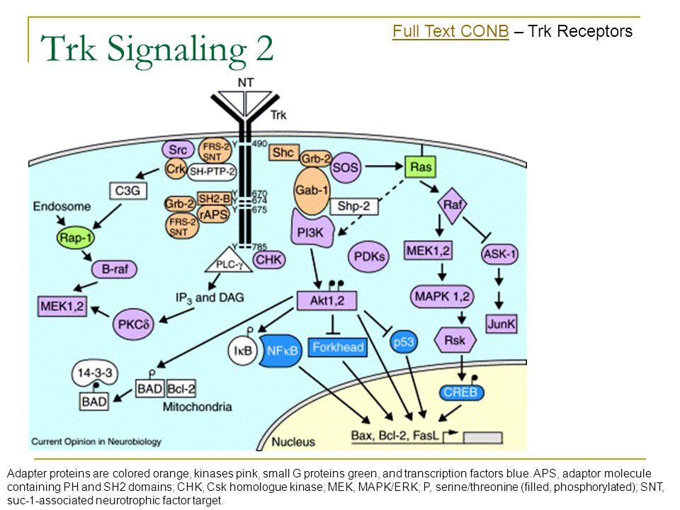 Trk Signaling 2 Full Text CONB – Trk Receptors