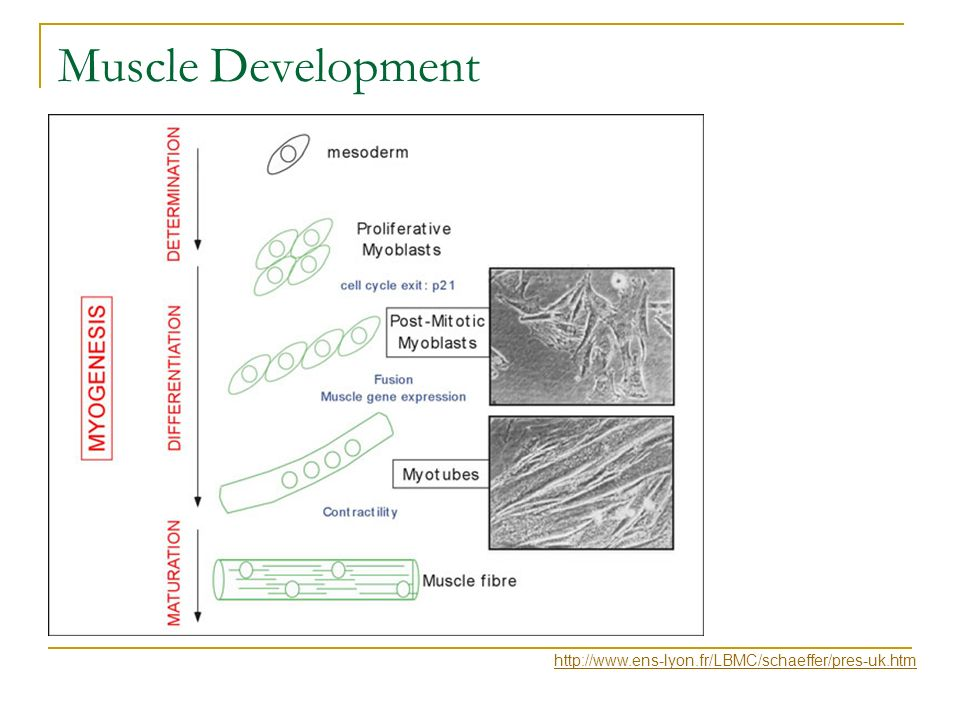 Muscle Development