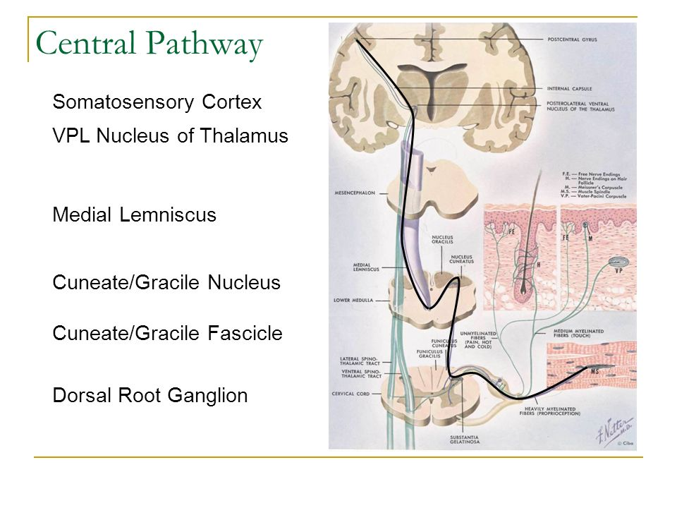 Central Pathway Somatosensory Cortex VPL Nucleus of Thalamus