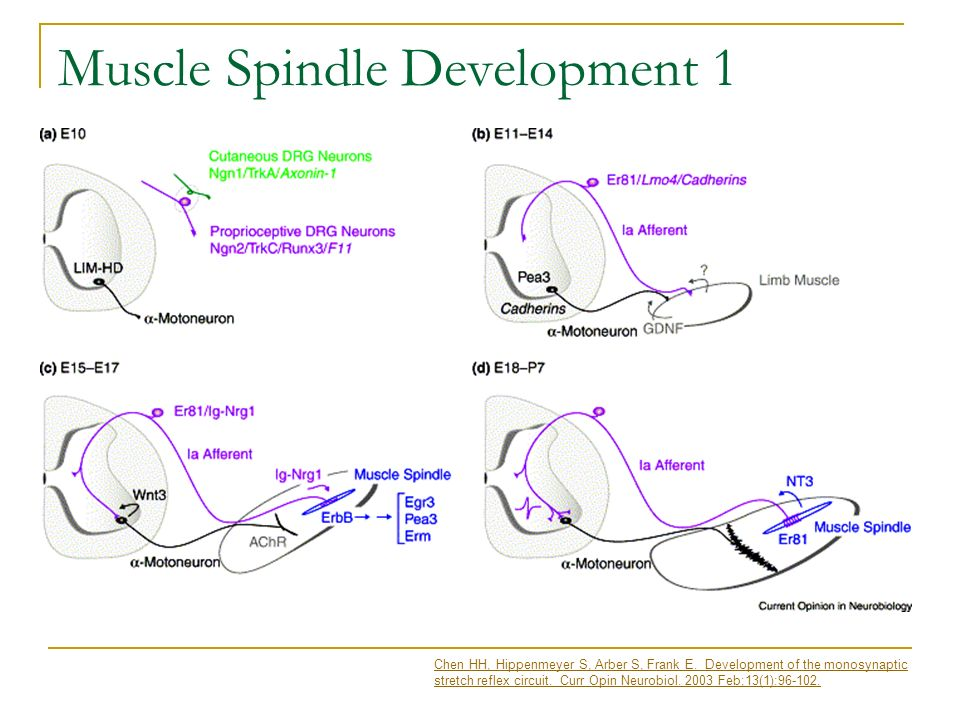Muscle Spindle Development 1