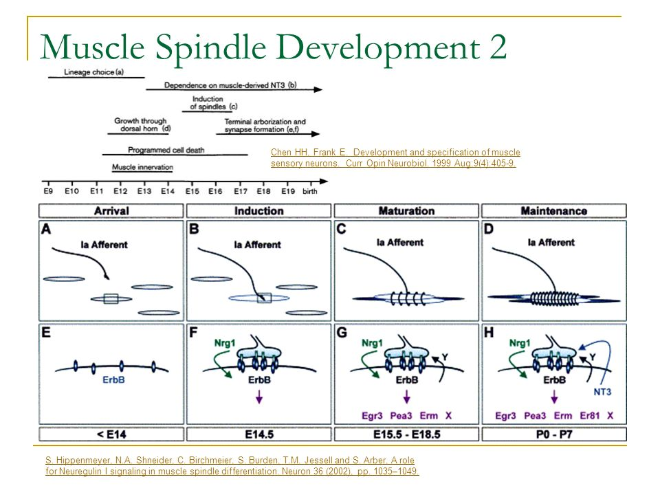 Muscle Spindle Development 2