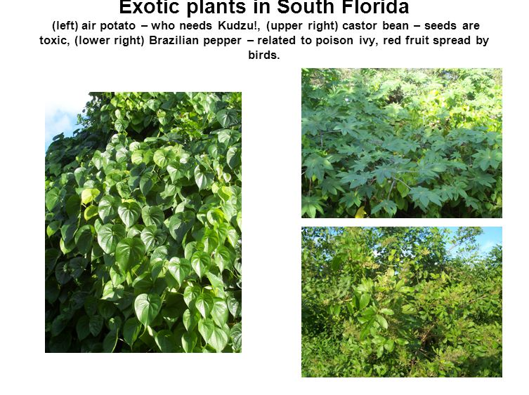 Exotic plants in South Florida (left) air potato – who needs Kudzu