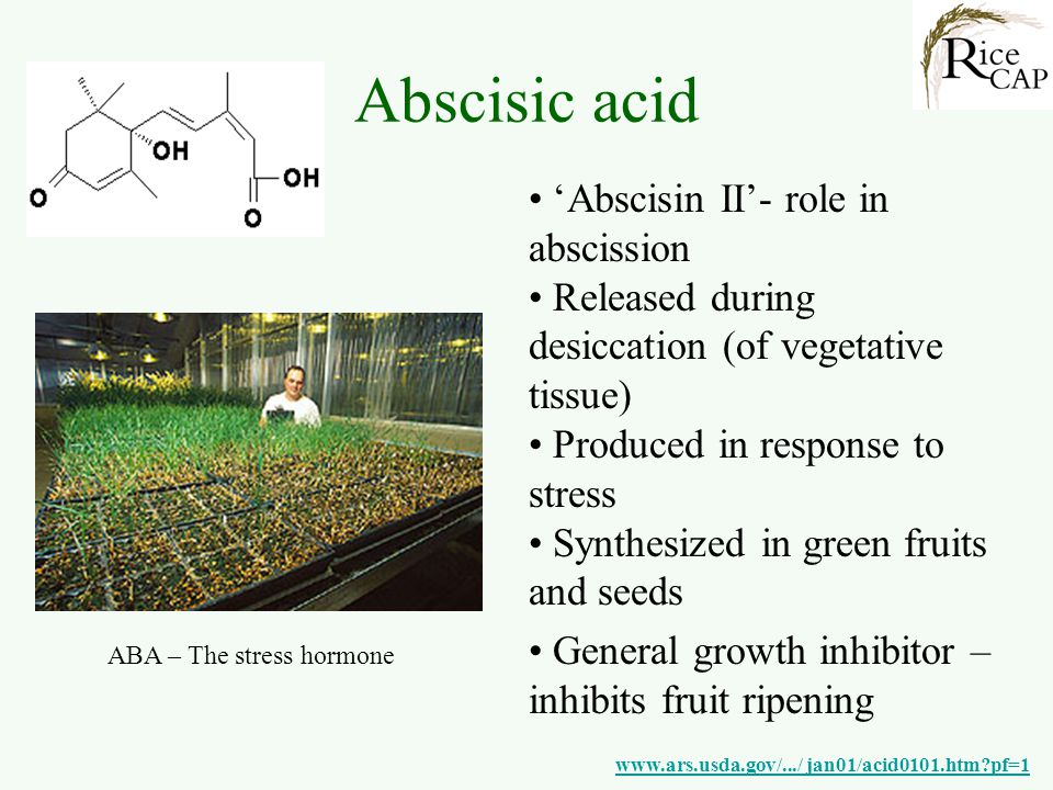Abscisic acid 'Abscisin II'- role in abscission