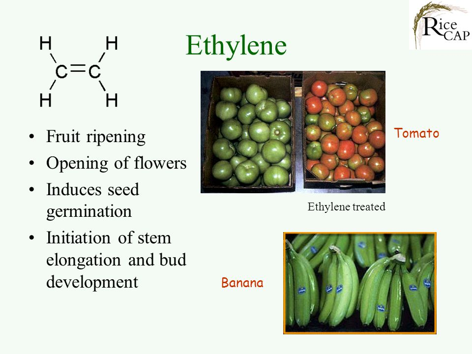 Ethylene Fruit ripening Opening of flowers Induces seed germination
