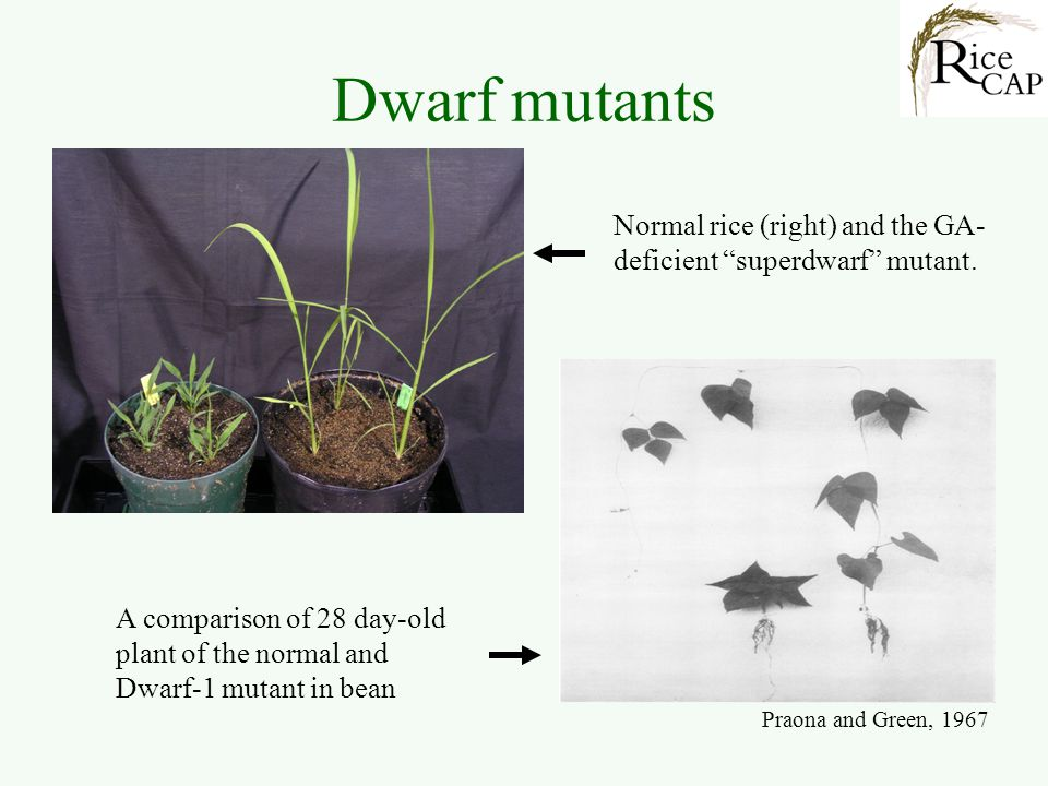 Dwarf mutants Normal rice (right) and the GA-deficient superdwarf mutant.