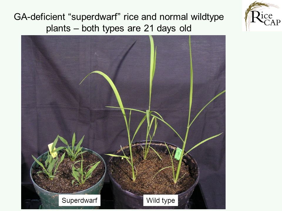 GA-deficient superdwarf rice and normal wildtype plants – both types are 21 days old