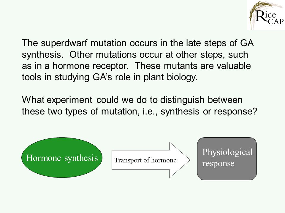 The superdwarf mutation occurs in the late steps of GA synthesis