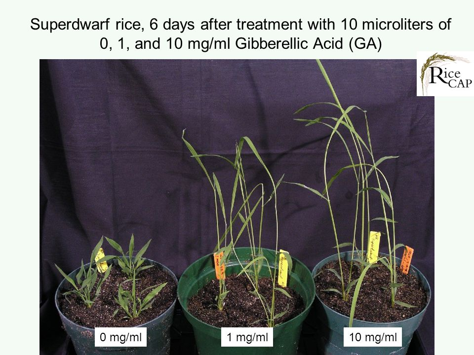 Superdwarf rice, 6 days after treatment with 10 microliters of