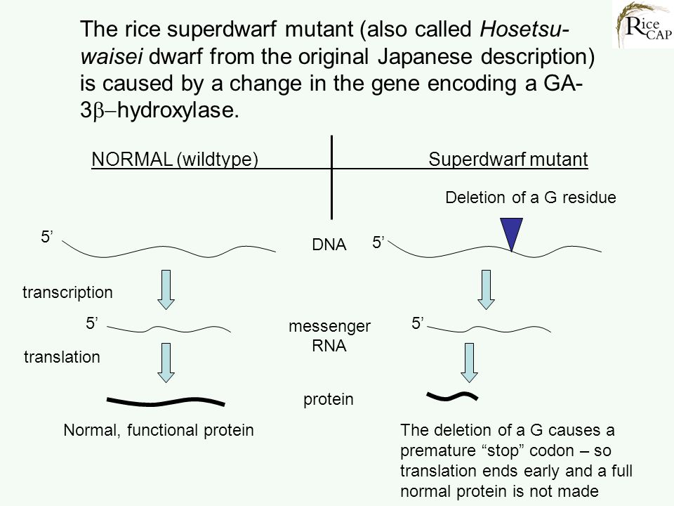 The rice superdwarf mutant (also called Hosetsu-waisei dwarf from the original Japanese description) is caused by a change in the gene encoding a GA-3b-hydroxylase.