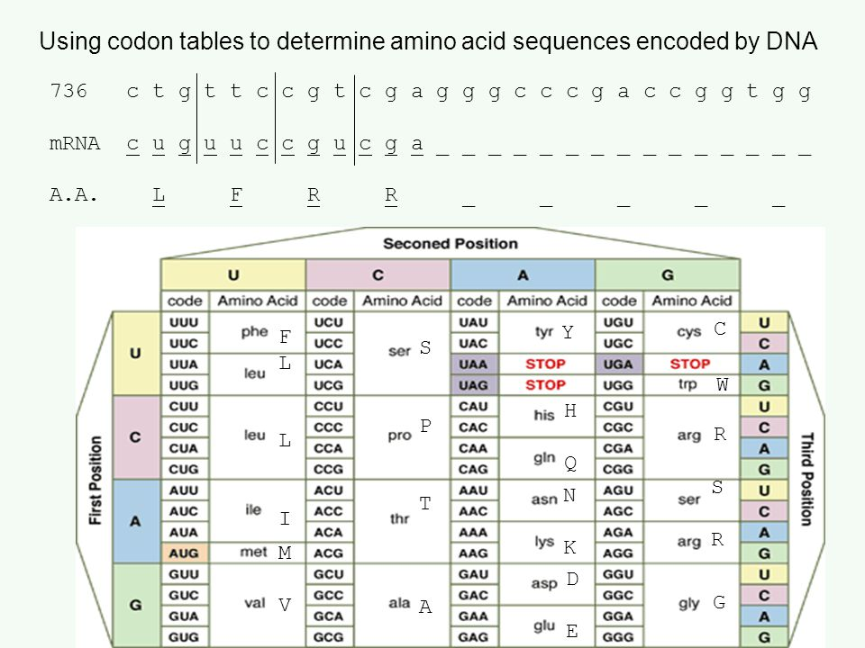 Using codon tables to determine amino acid sequences encoded by DNA