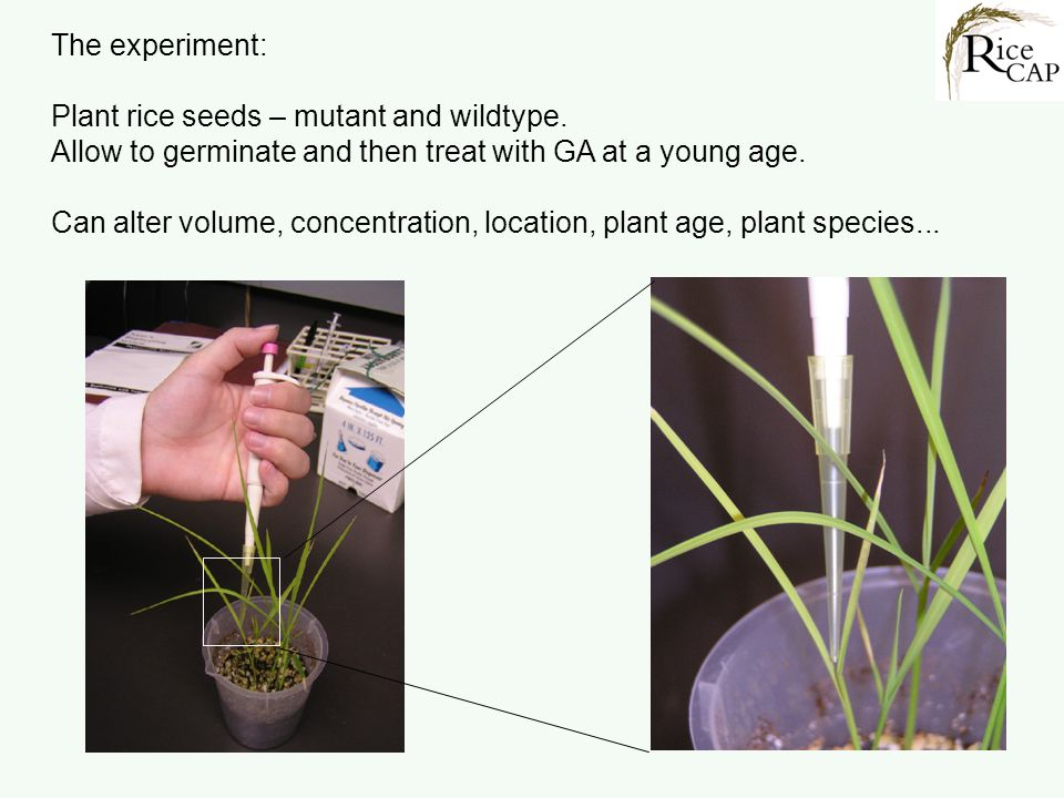 The experiment: Plant rice seeds – mutant and wildtype. Allow to germinate and then treat with GA at a young age.