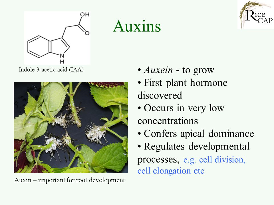 Auxins Auxein - to grow First plant hormone discovered
