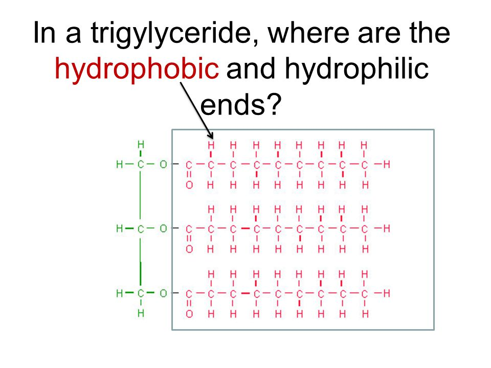 In a trigylyceride, where are the hydrophobic and hydrophilic ends