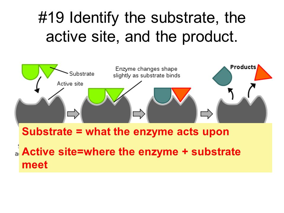 #19 Identify the substrate, the active site, and the product.